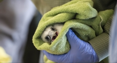 Peregrine chick wrapped in towel