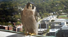 Peregrine falcon at Cathedral of Learning