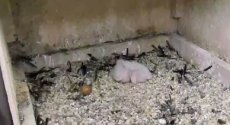 Peregrine chicks and unhatched egg